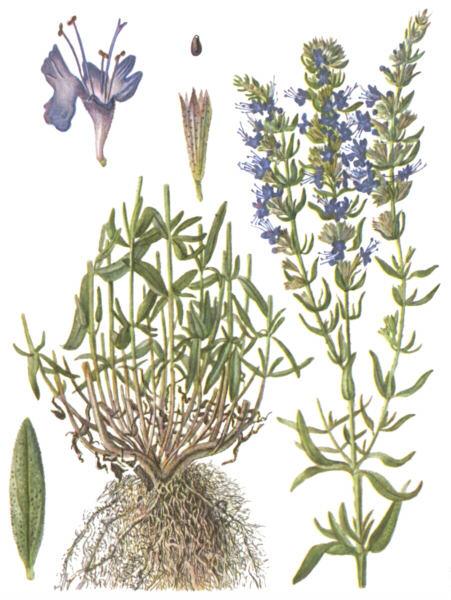 лекарственные травы крыма фото и описание